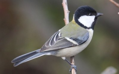 Discovery of animal communication syntax of some birds. The case of Parus minor