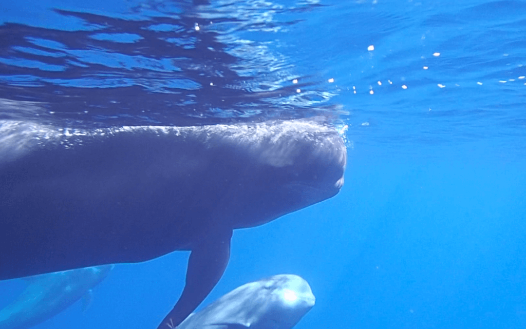 Pilot Whales in South Tenerife